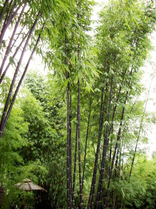 Commercial bamboo forest